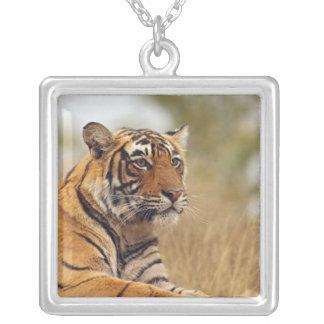 Collier Tigre de Bengale royal - une fin, Ranthambhor