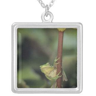 Collier Treefrog vert, Hyla cinerea, adulte sur le jaune