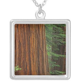 Collier Troncs de séquoia géant dans la forêt, Yosemite