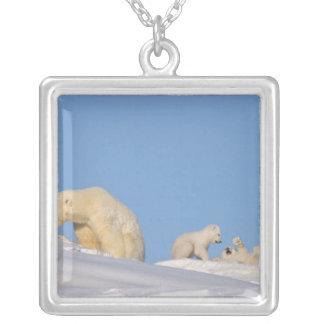 Collier Truie d'ours blanc alimentant sur l'herbe pour
