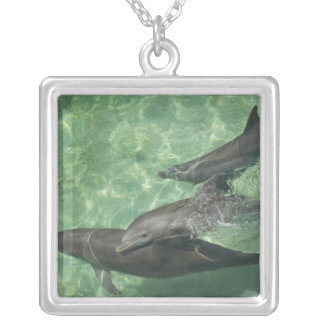Collier Truncatus de Tursiops de dauphins de Bottlenose)