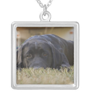 Collier Un chiot de labrador retriever