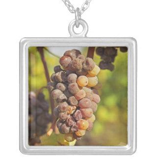 Collier Un groupe moisi de raisin de Semillon à ch Raymond