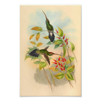 Copie 1861 de colibri d'ermite de cru  tirage photo