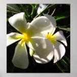 Copie blanche d'affiche de fleurs de Frangipani de