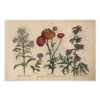 Copie botanique Candytuft d'art de la fleur 1757