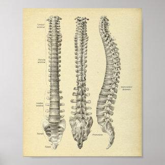 Copie d'anatomie de colonne vertébrale