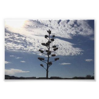 copie de la photo 6X4 d'agave de floraison