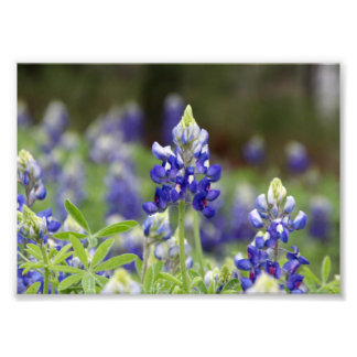 Copie de photo de champ de Bluebonnet