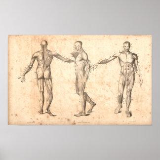 Copie vintage d'anatomie de 1833 muscles