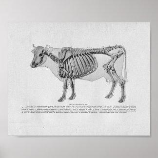 Copie vintage d'anatomie squelettique de vache