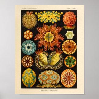 Copie vintage d'art d'Ernst Haeckel de couleur Poster