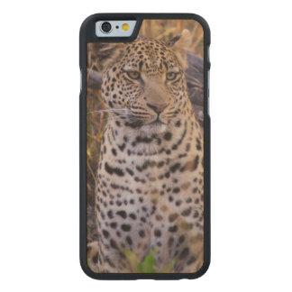 Coque Mince En Érable iPhone 6 Séance de léopard, Botswana, Afrique