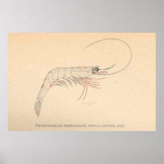 Crevette des Caraïbes vintage Diagram (1902)