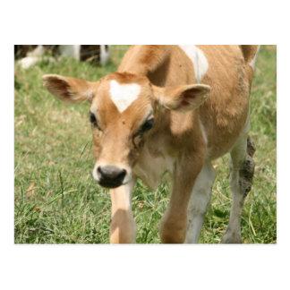 Curieux Vache-laissez ! Carte Postale