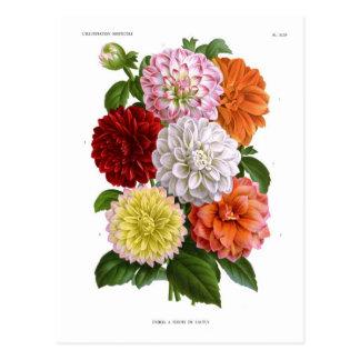Dahlias de cactus carte postale