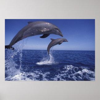 De Caraïben, Bottlenose dolfijnen Tursiops 6 Print