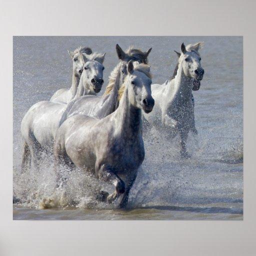 De paarden die van Camargue op te kruisen moerasla Poster