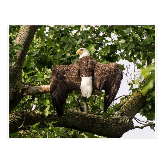 Diffusion Eagle Carte Postale