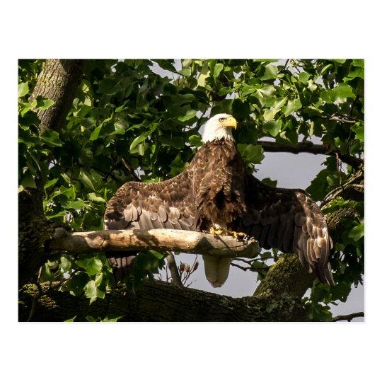 Eagle chauve, le clignoteur carte postale