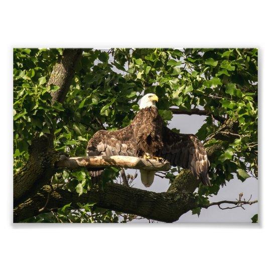 Eagle chauve, le clignoteur impression photo