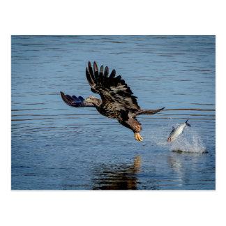 Eagle chauve non mûr laissant tomber un poisson carte postale