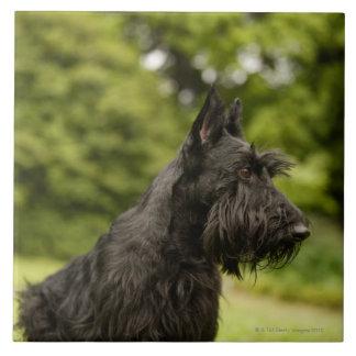 Écossais Terrier Carreaux