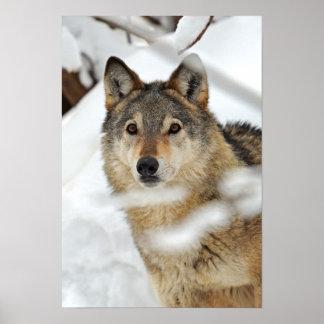 Eenzame Wolf in het Poster van de Sneeuw