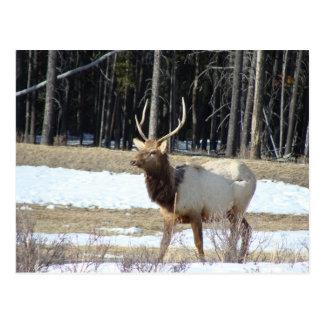 Élans de Banff Carte Postale