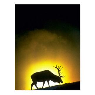 Élans de taureau de montagne rocheuse, parc carte postale