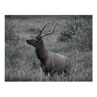 Élans en parc national de montagne rocheuse carte postale