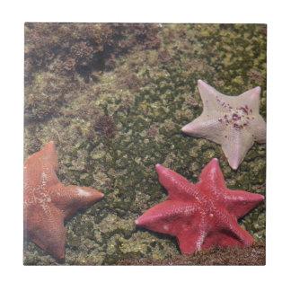 Étoiles de mer vivantes (4).JPG Petit Carreau Carré