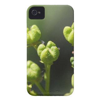 Étui iPhone 4 Fruit d'une rue commune (graveolens de Ruta)