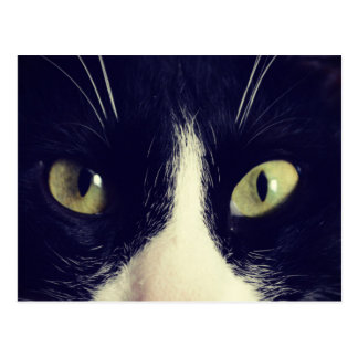 Eyes cat Bicolore cat Photography Cartes Postales