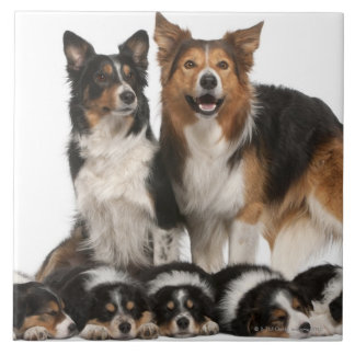 Famille de border collie carreaux en céramique
