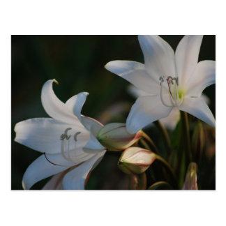 Fleur d'amaryllis et sa signification carte postale