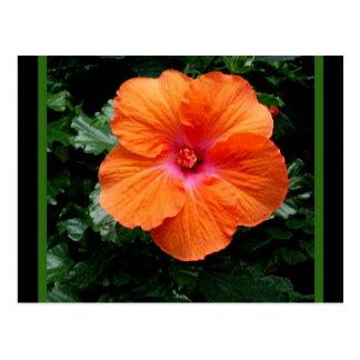 Fleur orange de ketmie par Sharles Cartes Postales