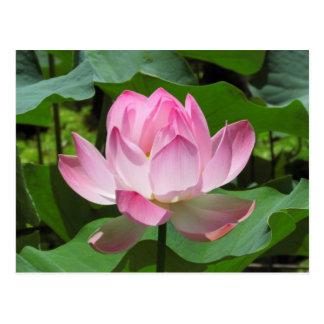 Fleur rose de Lotus Cartes Postales