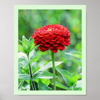 Fleur rouge de Zinnia Poster