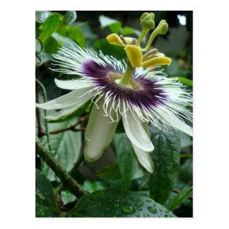 Fleur tropicale exotique de passiflore comestible  carte postale