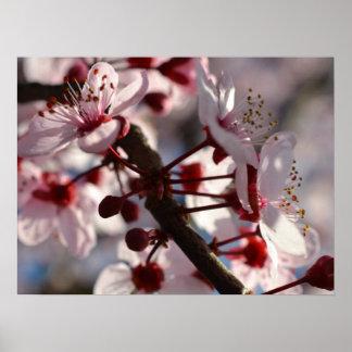 Fleurs de fleurs de cerisier