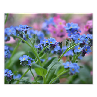 Fleurs de myosotis impression photo