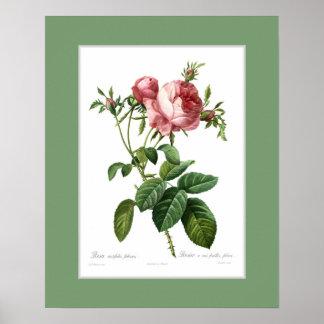 Foliacea de centifolia de Rosa, frontière douanièr