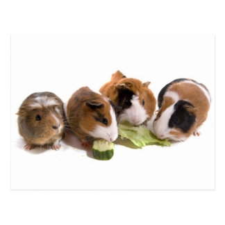 four guinea pigs who eat, carte postale