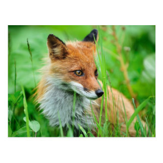 Fox rouge carte postale