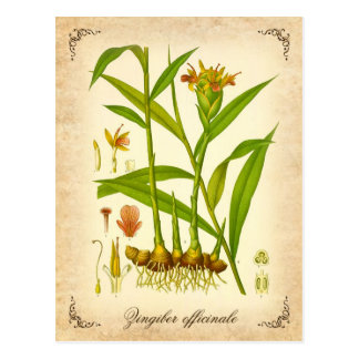 Gingembre - illustration vintage cartes postales