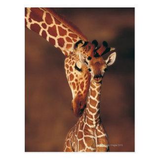 Girafe adulte avec le veau (camelopardalis de cartes postales