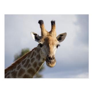 Girafe au Botswana, Afrique, carte postale