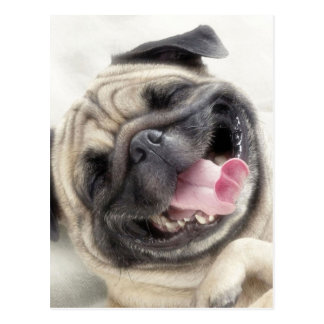 Glimlachende pug. Grappige pug Briefkaart