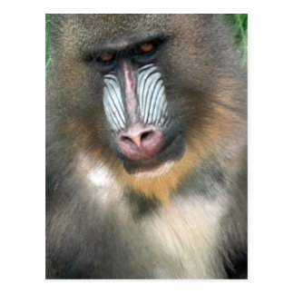 Grand babouin carte postale